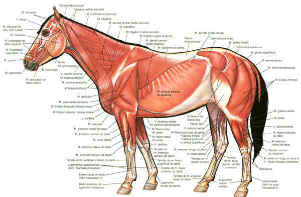 horse-superficial-muscles